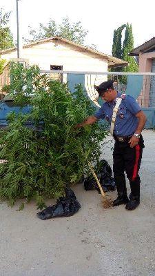 Benevento: coltivava la Marijuana insieme ai fagiolini e le zucchine.