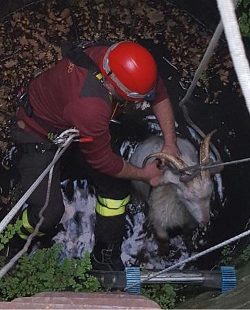 San Leucio del Sannio, erano cadute in un pozzo: i  Vigili del Fuoco mettono in salvo due capre.
