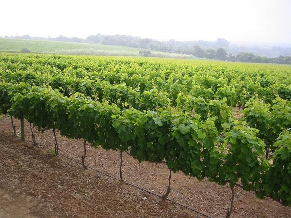 Guardia Sanframondi contro la lberalizzazione dei vitigni