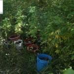 piante cannabis ritrovate dai carabinieri