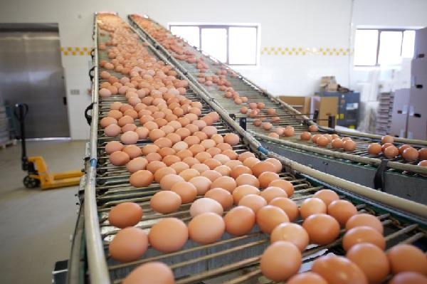 Uove contaminate dal Fipronil : un caso anche in provincia di Benevento