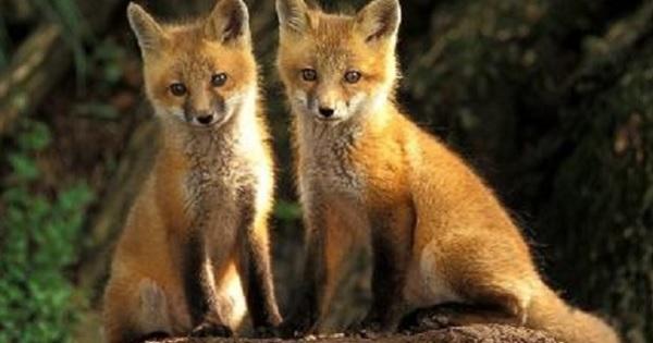 Piano di controllo e gestione volpe, aderiscono anche Enpa e Lipu alle richieste del WWF