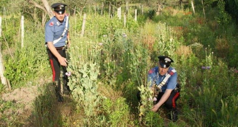 Circello: rinvenimento di una piantagione di Papavero da Oppio a Baselice