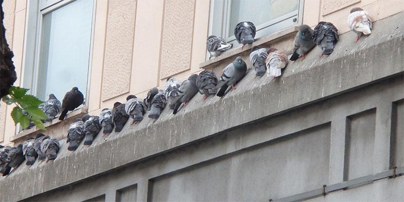 Benevento. Emanata un'ordinanza per contrastare l'aumento delle colonie di colombi e piccioni