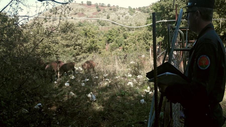 Moiano: sequestrato dai Carabinieri Forestale un recinto con 16 Cinghiali