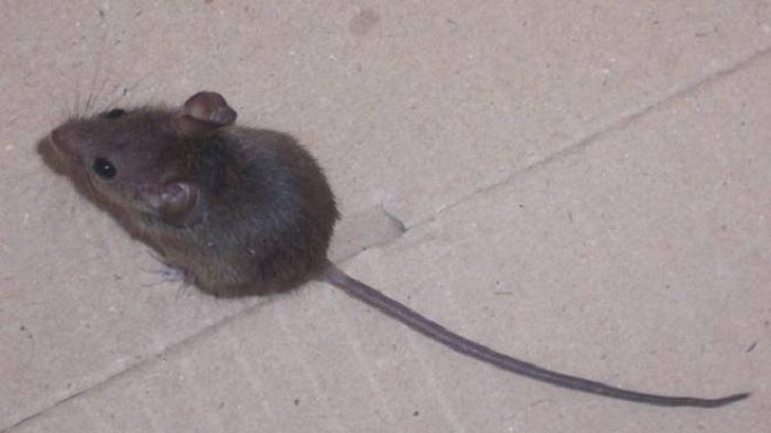 """Emergenza topi in città. Ordinanza di Mastella: """"Non lasciare cibo su aree pubbliche e mantenere puliti i locali"""""""