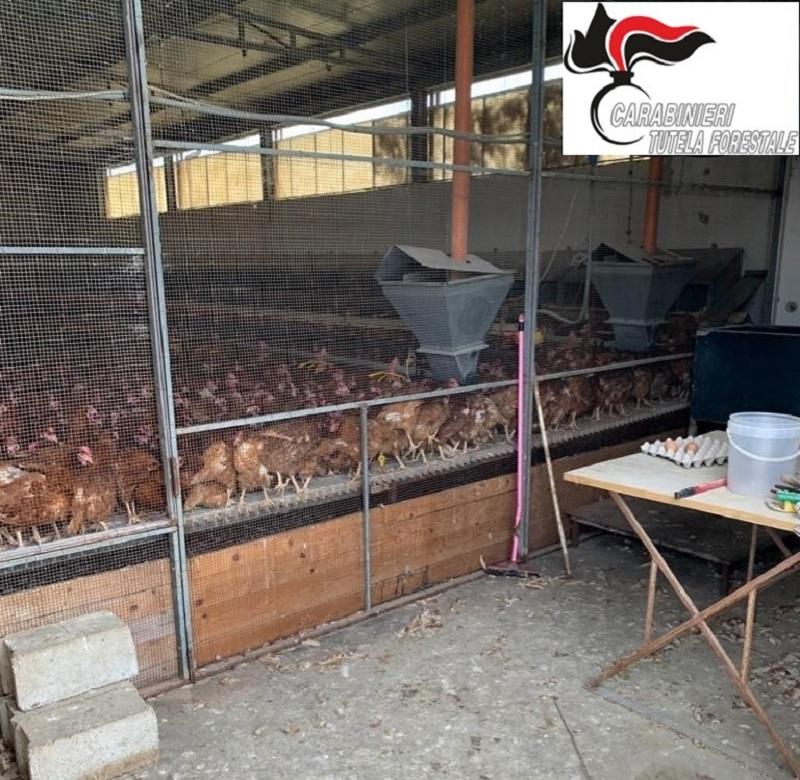 Salmonella Enteritidis nelle uova: abbattute oltre mille galline.Ritirati tutti i lotti di uova