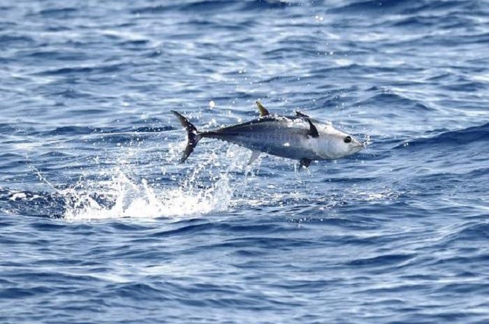 Ambiente. La natura riguadagna i suoi spazi: anche i tonni a riva in Sardegna.