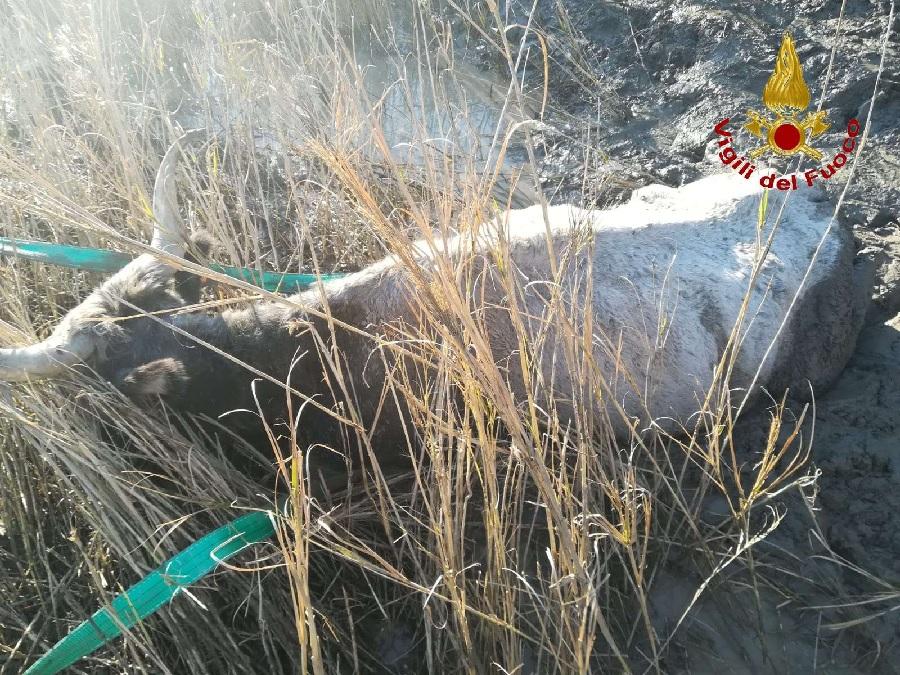 Benevento. Vigili del Fuoco salvano una mucca rimasta nel fango in riva al fiume Tammaro