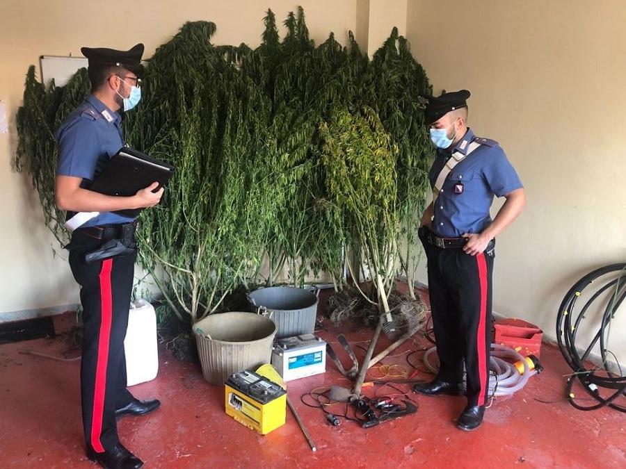 Solopaca: 25enne arrestato dai Carabinieri mentre innaffiava piantagione di marijuana